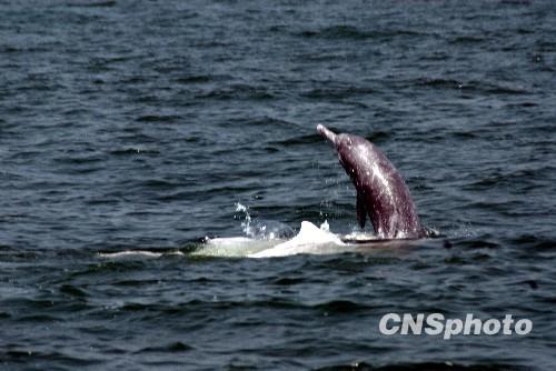 10月23日,一群可爱的中华白海豚出现在广东湛江市东