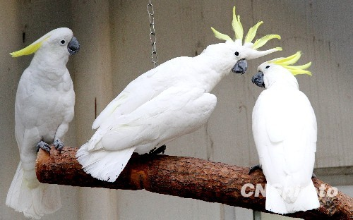 图为一对鹦鹉在苏州动物园笼舍内旁若无人的亲吻.中新社发 王建中 摄