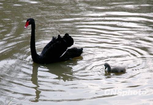 图:南京红山森林动物园黑天鹅喜添新丁