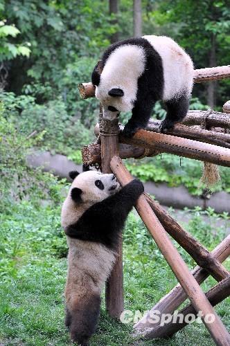 壁纸 大熊猫 动物 332_500 竖版 竖屏 手机