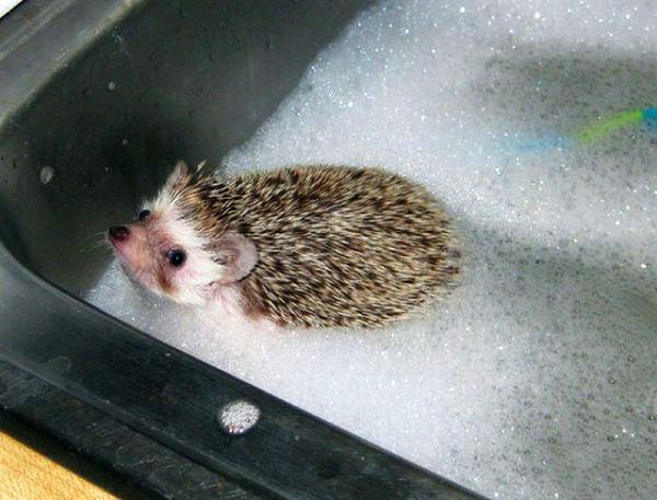 超萌!看看小刺猬是怎么洗澡的