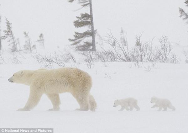 大 熊 猫采血过程首次公开  荷兰动物园北极 熊 双胞胎亮相  熊 妈
