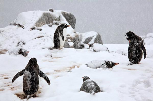 图片频道-北极最美动物:企鹅的一生