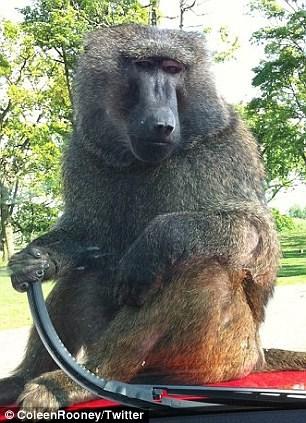 汽车公司测试新产品 让40只狒狒对其肆虐10小时