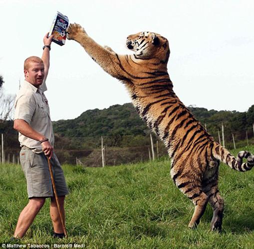 据英国《每日邮报》报道,南非一家公园内一头西伯利亚虎兽兽(Shosho)和它的饲养员阿什利•戈伯特之间长期相处,久而久之建立起了感人的友谊。他们一同嬉戏、亲吻、拥抱,场面甚是打动人心。兽兽重达256公斤,站立时高近2.5米。饲养员阿什利说,兽兽非常温顺,十分喜欢与人亲热,但他同时也表示,自己的工作也存在潜在的危险。西伯利亚虎属于珍稀物种,目前仅有约360只生活在俄罗斯东部。