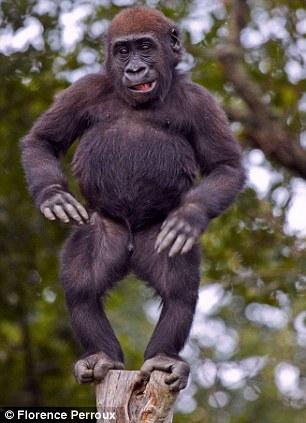 """重庆街头现""""黑 猩猩 """"创意洒水车 法国动物园 猩猩 过50岁生日 园长嘴"""