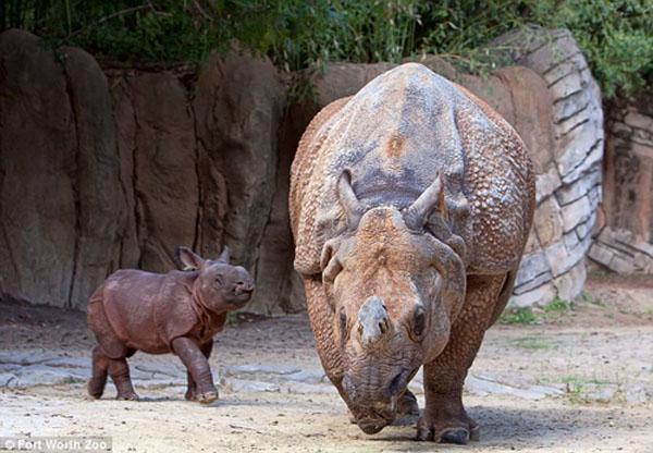 据英国《每日邮报》9月3日消息,日前,美国德克萨斯州沃思堡动物园(Fort Worth Zoo)刚出生两周的一头独角朝天犀牛跟随母亲散步,昂首阔步的样子非常可爱。作为濒危的犀牛家族成员,这只重约130磅(约59公斤)犀牛幼崽被这家动物园当成一个大胜利。它是25岁的母亲生下的第5个幼崽。这种犀牛目前在全球仅有2949头。   该动物园表示,雄性犀牛的繁殖机会很小,因为雌性犀牛的妊娠期在15-16周之间,而且生育一次要等4年才能再次受孕。