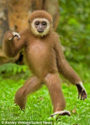 泰国动物园1岁长臂猿大秀摇摆舞
