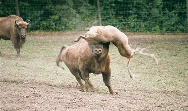 波兰动物园公鹿不自量力挑战野牛