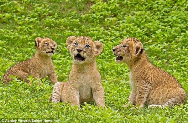 【环球网综合报道】 据英国《每日邮报》10月25日消息,英国摄影师阿什利•文森特(Ashley Vincent)近日公开了他在泰国一家动物园内拍摄到的三只幼狮的可爱成长照片。这些照片展示了小狮子三姐妹从出生几天到5个月大期间的各种样子。   这三只幼狮的泰语名字分别叫大公主(Ying Yai),二公主(Ying Klang)和小公主(Ying Lek)。在长到第六天时,三只小狮子还没有长牙,不过咆哮看起来也煞是可爱,完全没有森林之王的凛冽之感。   文森特介绍说,才出生六天的小