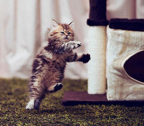 据英国《太阳报》11月11日报道,近日,澳大利亚翻译本•托罗德(Ben Torode)在网上晒出他为宠物猫黛西(Daisy)拍摄的卖萌照,引来众多网民的围观。这只7个月大的小猫咪玲珑的动作和惹人怜的眼神,让它被几家网站称为世界上最可爱的猫咪。   据悉,托罗德是在几个月前在东京做翻译时一时兴起买了这只猫咪,他说他第一眼就喜欢上这只猫了。随后,爱好摄影的他在公寓里捕捉到了黛西的各种有趣可爱的照片。如今这些精美的照片受到很多人的追求,为托罗德带来了一些意外收入。