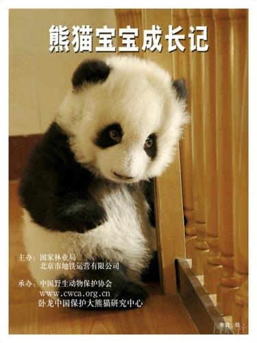 图集:熊猫宝宝成长记