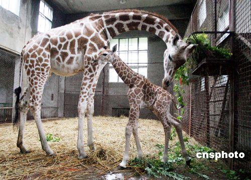图:济南动物园喜添长颈鹿宝宝