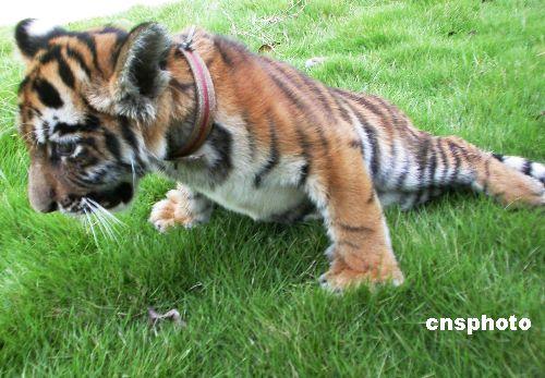 做了接骨手术的小老虎 4天后行走自如