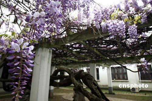 据悉,该紫藤树种植于宋代中期,距今已有千年历史,沧桑的老藤遒劲粗壮