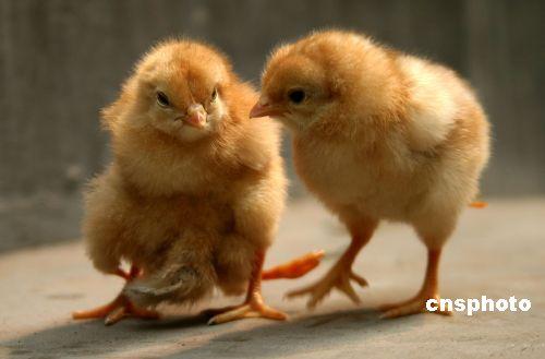 图:河南一小鸡长着四只腿