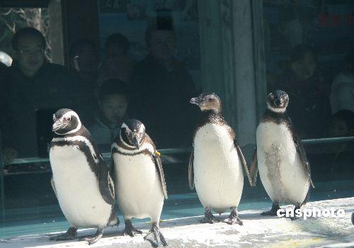 游人在南京红山森林动物园观赏麦哲伦企鹅