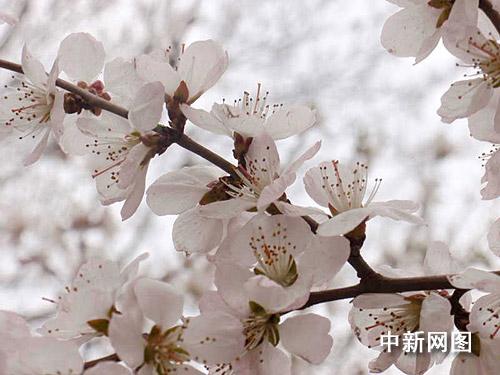 图:边城杏花绽放 春意融融
