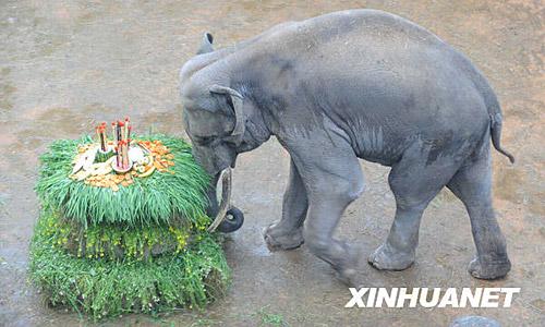 """图:长沙动物园用巨型""""蛋糕""""为大象庆生"""