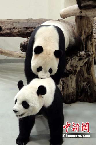 """台北市立动物园将不定时培训熊猫""""团团圆圆"""""""