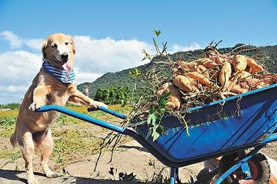小狗推地瓜车照走红新北一农园获大丰收