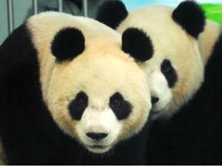 大陸贈臺熊貓圓圓確定沒懷孕動物園:只好等明年
