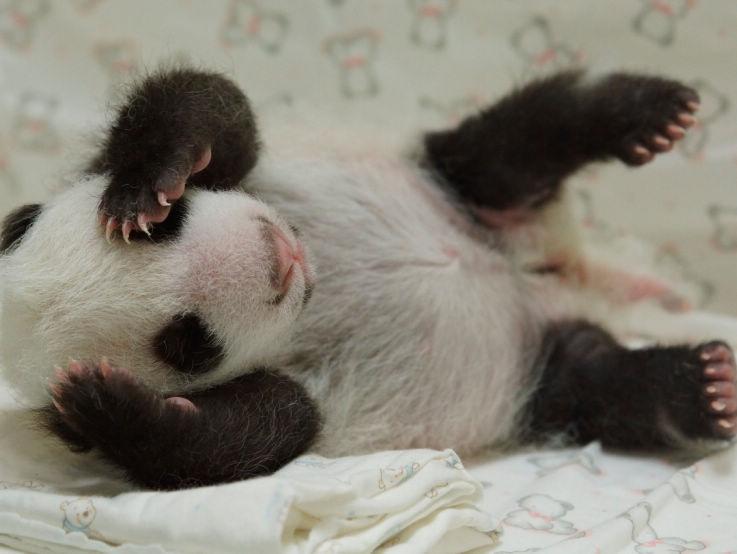 赠台大熊猫母子36天后再相聚母隔笼亲吻幼崽(图)