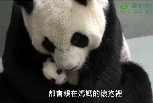 赠台大熊猫母女首次同过夜睡得香忙翻工作人员