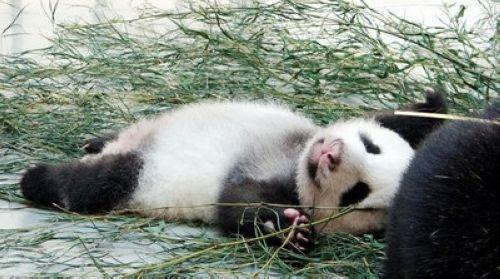 壁纸 大熊猫 动物 500_279