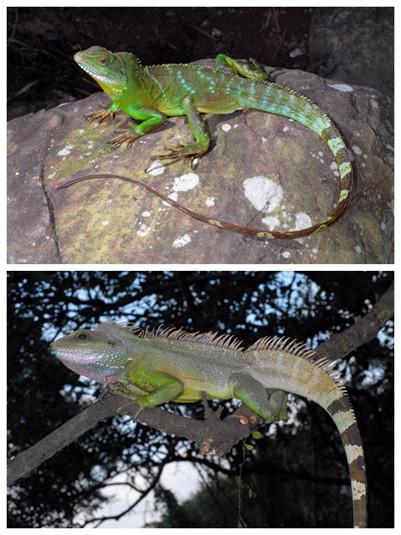 台湾/绿水龙威胁台湾原生动物,已经到达外来入侵种的标准。(图片...