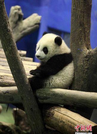 """叶小刚   """"圆仔""""是大陆赠台大熊猫的第一个宝宝,系雌性,其纯真可爱的"""