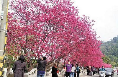 大批游客慕名赏花樱花经济将成台中观光业生力军