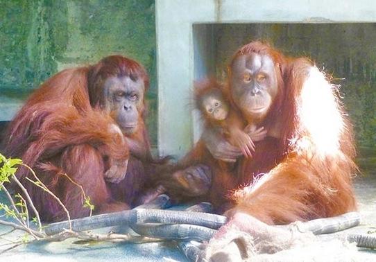 新闻中心 台湾新闻      台北市立动物园住着3代同堂的红毛猩猩家族