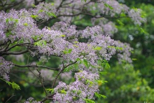 苦楝由无数小紫花组成一树繁花.