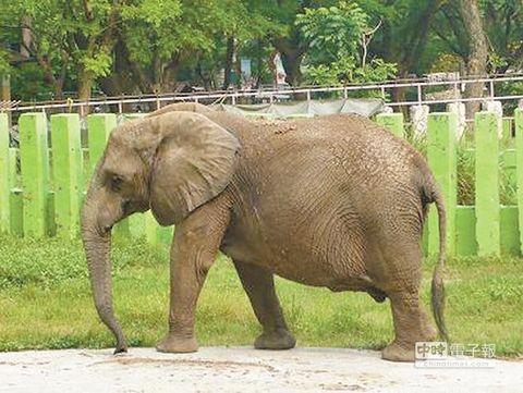 高雄动物园大象用鼻子抛石头打断女游客1颗门牙