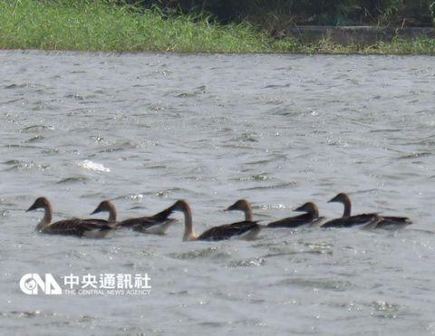 """稀有冬候鸟""""寒林豆雁""""现踪澎湖(图)"""