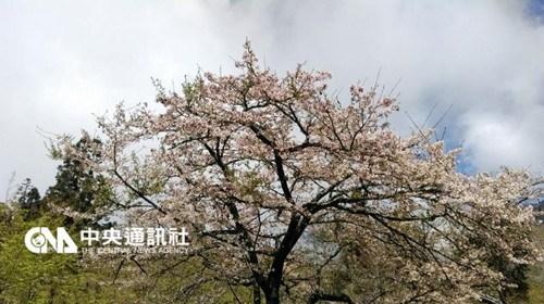 台湾阿里山花季过半两天涌进逾2.5万游客(图)