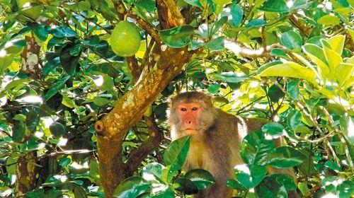 台猕猴成群结队偷南瓜被驱赶躲树后跟人捉迷藏