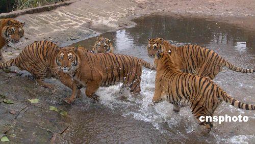 组图:重庆野生动物世界里的孟加拉虎(4)