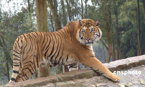 组图:重庆野生动物世界里的孟加拉虎(5)