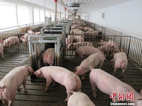 农业农村部:鼓励规模猪场和种猪场开展非洲猪瘟自检