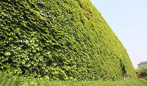 4月18日,南京,随着气温升高,春回大地,万物生长,南京石城门瓮城的爬山虎盎然生长,爬满古老的明城墙外立面。